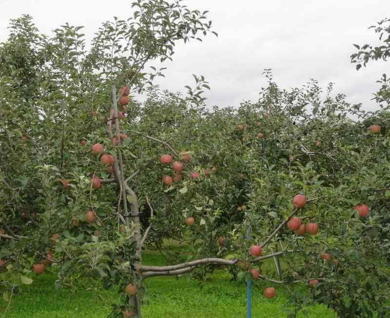 弘前市付近のリンゴ